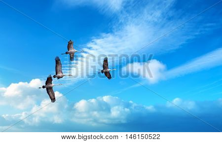 Flock of Sandhill Crane during autumn or spring migration