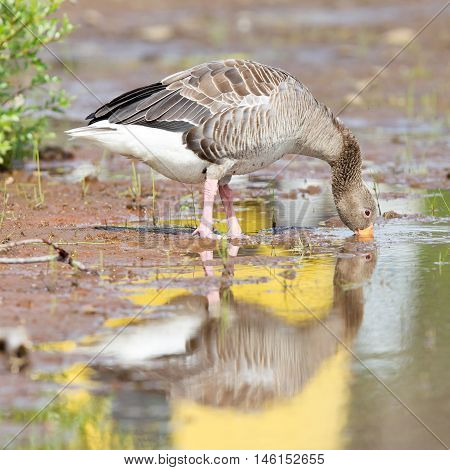 Greylag Goose Drinking In A National Park In Iceland