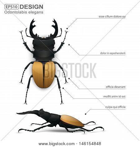 Odontolabis elegans beetle infographic on a white background. vector