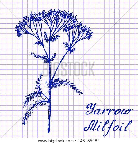 Yarrow Achillea millefolium . Botanical drawing on exercise book background. Vector illustration. Medical herbs