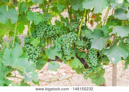 Clusters of a ripening grapes on the vineyard closeup