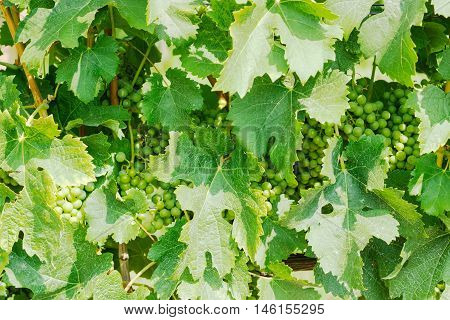 Background of vine with stems leaves and clusters of ripening grapes on the vineyard
