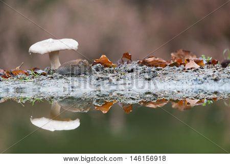 Common vole mouse under mushroom in autumn