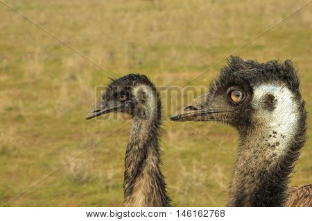 close up photo of two Auistralian emus