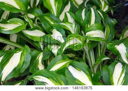beautiful bright green leaves ornamental plant hosta