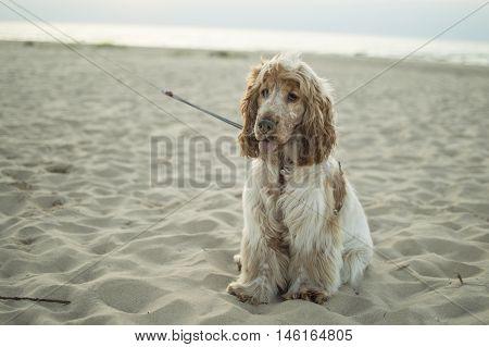 English cocker spaniel puppy on the beach
