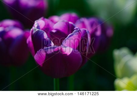 beautiful flower of tulip with purple or violet petals om green stem in flowerbed on floral bouquet sunny day outdoor on natural background closeup