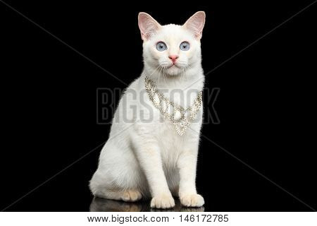 Gorgeous Blue eyed Female Cat of Breed Mekong Bobtail, Sitting with jewelry, Isolated Black Background, Color-point Beige Fur