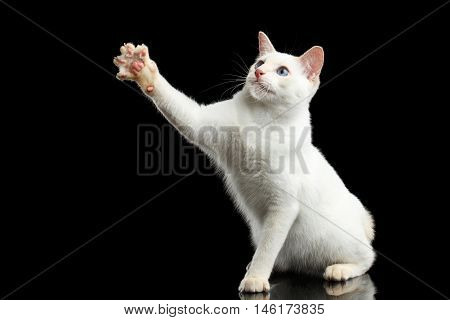 Playful Cat of Breed Mekong Bobtail, Sitting and Raising up Paw, Isolated Black Background, Color-point Fur,