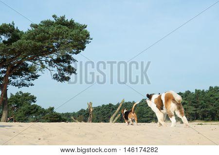 Beagle And St. Bernard Outdoor