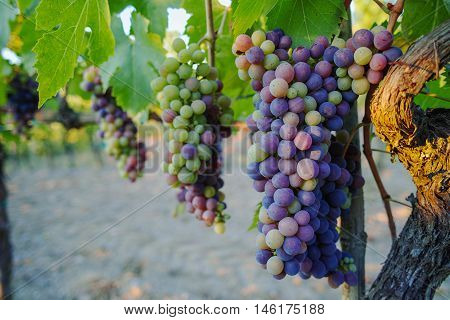 Tuscany Montepulciano vineyards in the summer Italy