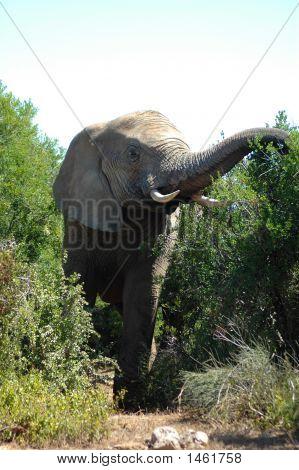 Elephant Feeding