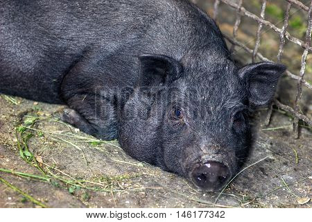 Very lazy, cute and beautiful thai style vietnamese pot belly piglet, animal living on the farm. Black-footed Iberian pig looking in camera with curiosity.