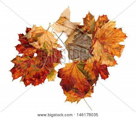Autumn Multicolor Maple Leafs