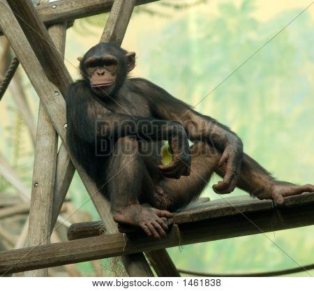 Chimpanzee On Relax