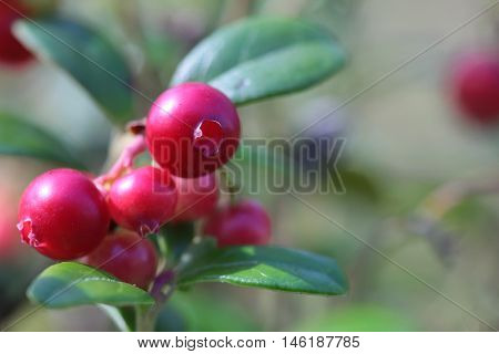 wild lingonberries in a forest close up