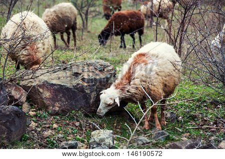 Sheep in the mountains of Armenia in spring