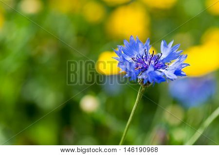 Blue wild corn flower in nature in front of yellow flowers