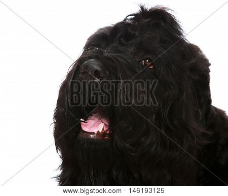 Large black shaggy dog closeup-Isolated on white background