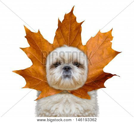 Cute dog with a leaf instead hat on the head -- isolated on white