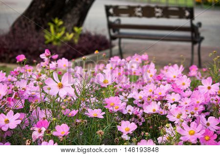 beautiful pink cosmos flowers in the garden
