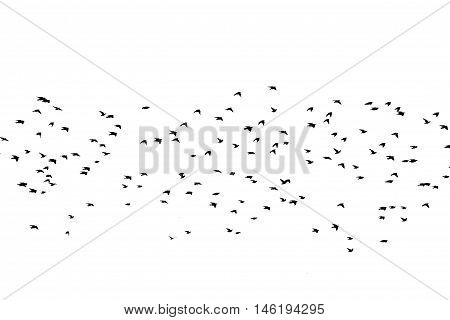 Bird silhouette swarm black flying isolated on a white background