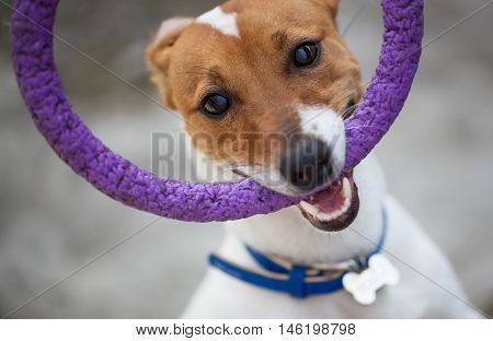 Cute Jack Russell Terrier Puppy Playing With Toy