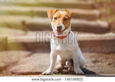 Small Jack Russell Terrier Puppy Sitting On Stairs