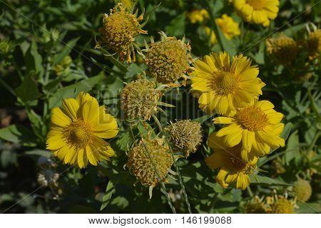 yellow flowers of a medicinal calendula in the garden