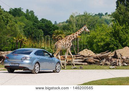 Verona Italy - May 07 2016: The car with tourists near a giraffe at the Park Natura Viva spring time