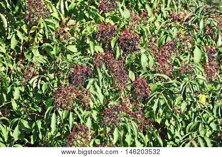 Elderberry On Branch