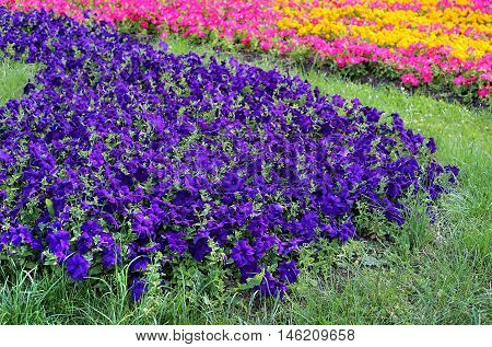 Flowers of bright colorful petunia nature background