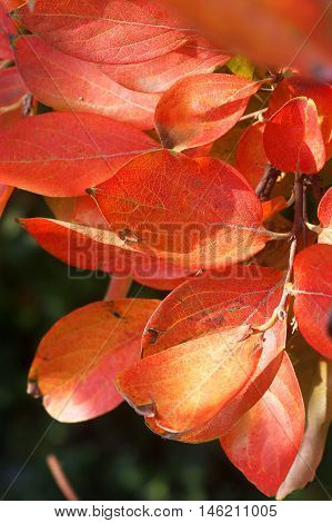 Red autumn leaves on the branches of a tree