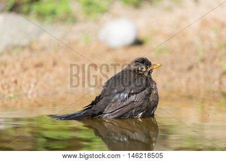 Common blackbird bathing in nature water