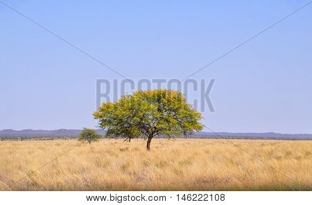 An Umbrella Thorn tree in Southern African savanna
