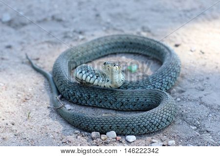 scaly reptile curled up on the road and watching the environment / ordinary non-toxic snake