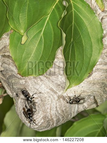 Hornets Nest In The Leaves Of Tree