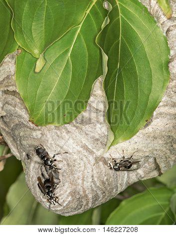 Hornets Nest In The Leaves Of Tree