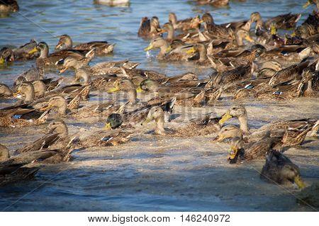 many wild ducks on the pond feeding