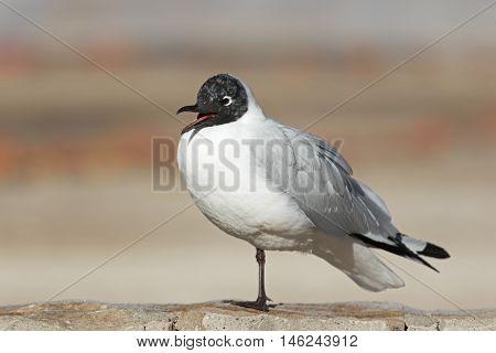 Black-headed gull - Chroicocephalus ridibundus / Black-headed gull at Geyser del Tatio, Chile