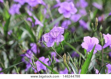 flower of Waterkanon, Watrakanu, Minnieroot, Feverroot, Popping pod, Trai-no, Toi ting ( Ruellia tuberosa Linn ) background, beautiful, beauty, bloom, blooming, blossom, blossoming, botanical, branch, bright, color, colorful, ecosystem, field, flora, flor