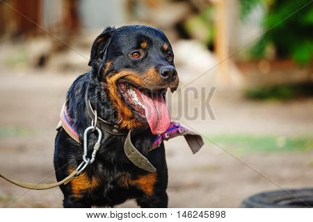 The portrait of a serious Rottweiler dog at summer background