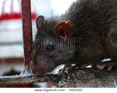 Rat Close Up