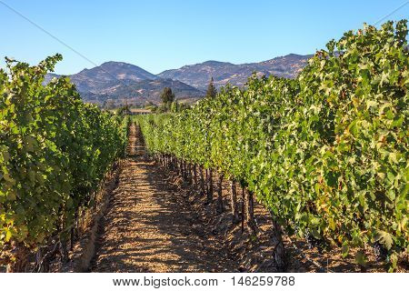 Beautiful landscape of Napa valley with rows of grape vines. San Francisco Bay Area in northern California, USA.
