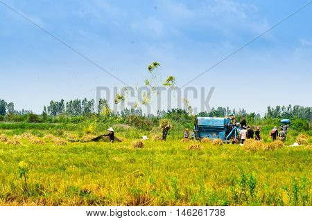 Wheet havest  An  Giang  Long  Xuyen Farmer working Field Rice  breakers machine