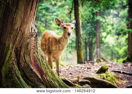 Young sika deer in Nara Park, Japan. The deer, the symbol of the city of Nara, roam freely and are considered in Shinto to be the messengers of the Gods.