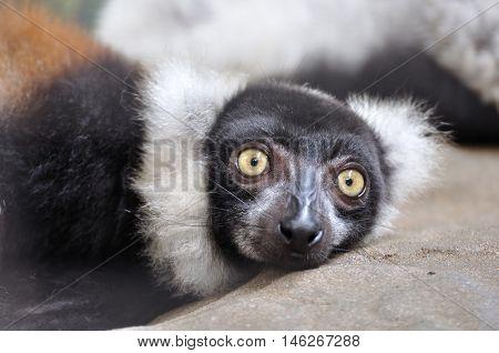 Ruffed lemur crouching on rock largest lemur