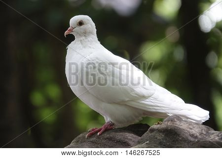 White Pigeon close up of bird on a stone