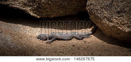 Chuckwalla lizard basking in the Sun Alabama Hills California