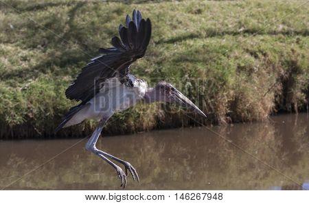 marabou stork flying nicely along the river Kehya